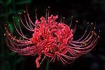 Lycoris flowers.jpg