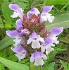 prunella vulgaris flowers.jpg