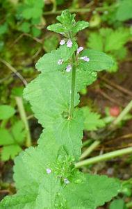 Stachys cenata flowers2.jpg