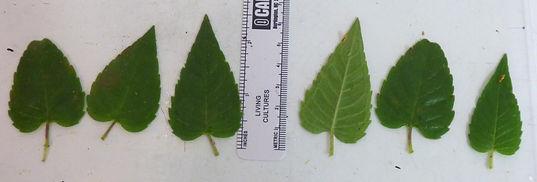 monarda fistulosa leaves.jpg