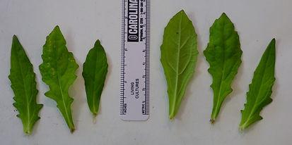Salvia lyrata stem leaves.jpg