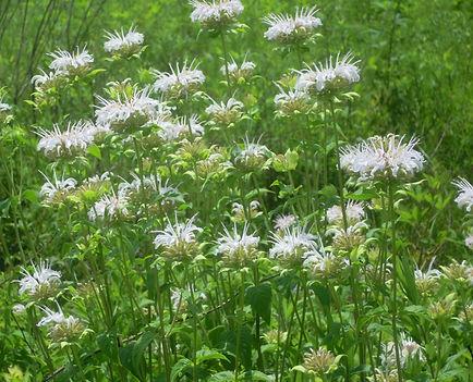 monarda fistulosa plants.jpg