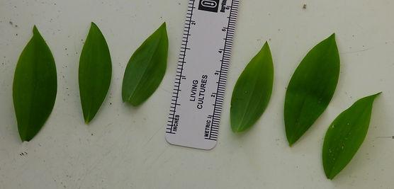 Uvularia sessilifolia leaves(1).jpg