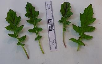 Salvia lyrata basal leaves 3.jpg