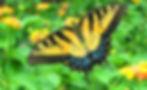 Female Eastern Tiger Swallowtail, Allen