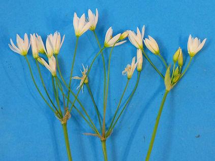 Allium bivalve flowers(1).jpg