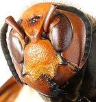 Giant Asian Hornet.jpg