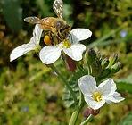 Bee on Radish flower.jpg