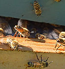 nasonving-bees from betterbee article.jp