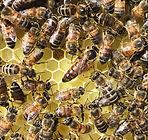 big-queen-bee from beekeeping like a gir