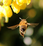 honey-bee-68166_1920.jpg