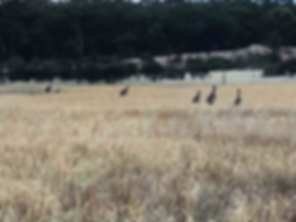 Kangaroos in paddock of Barley