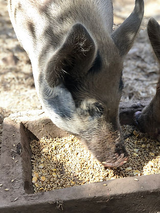 Hamilton pig eating wheat
