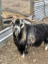 Miniture goat Buck