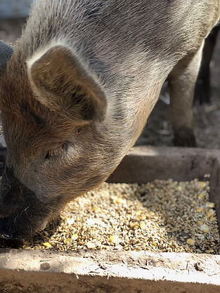 Puddles the pig eating wheat