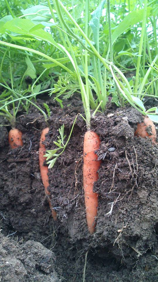 carrot bed