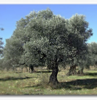 The connection between the olive tree sacred to Holy Land