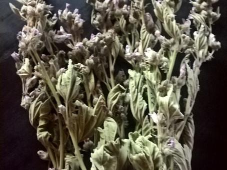 Marshmallow 'Althaea Officinalis'