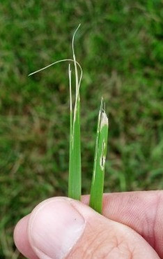 Dull Mower Blades are a No-No by Lawn-A-Mat