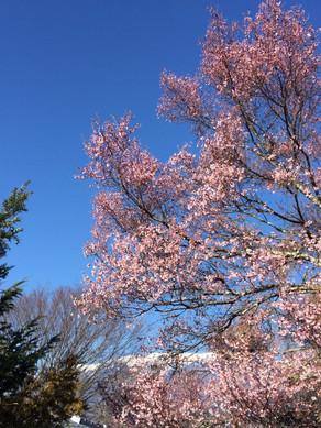 桜、早すぎだ。