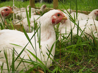 pastured-poultry-7044.jpg