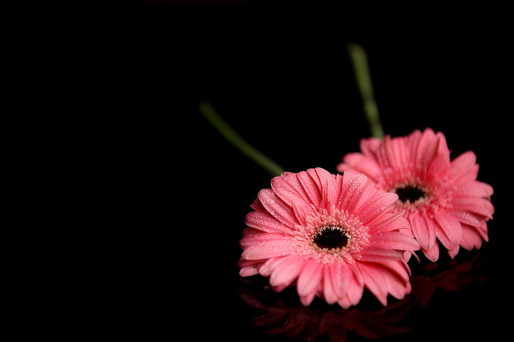 Two pink daisies