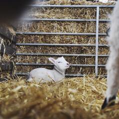 Lambing Season