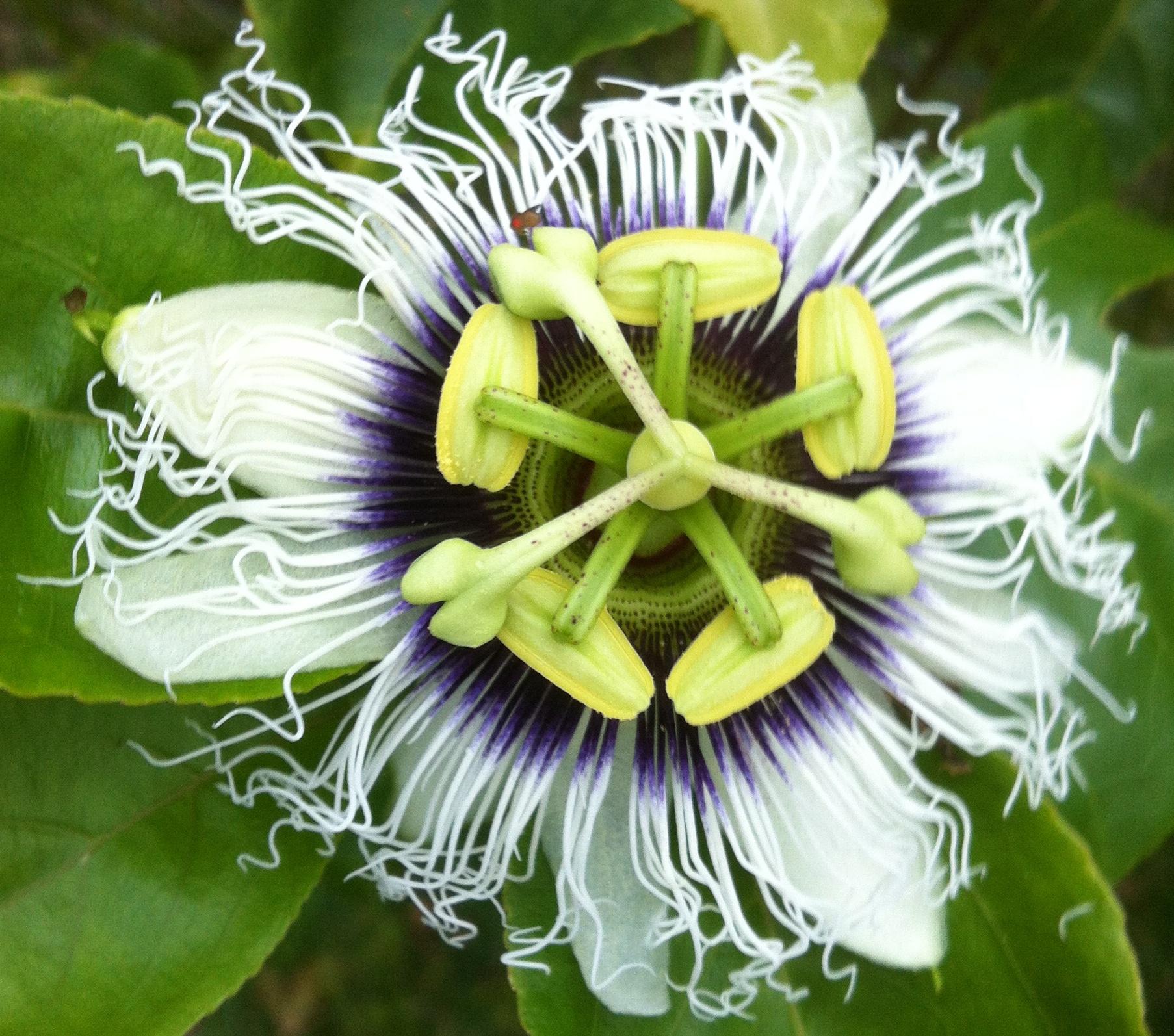 Lilikoi Flower