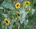 Sonnenblumen vor Christines Balkon.JPG