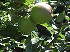 Unsere_Äpfel_reifen_auch.JPG