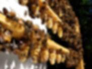 Production et vente de reines, Laurentides, Québec, Brébeuf, apiculture