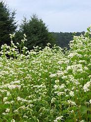 apiculture laurentides miel fleurs sauvages