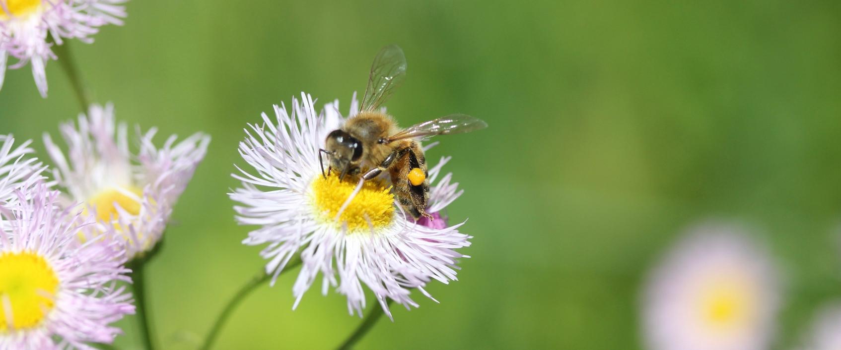 abeille aster.jpg