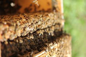 nucléis brébeuf laurentides vente abeilles reines