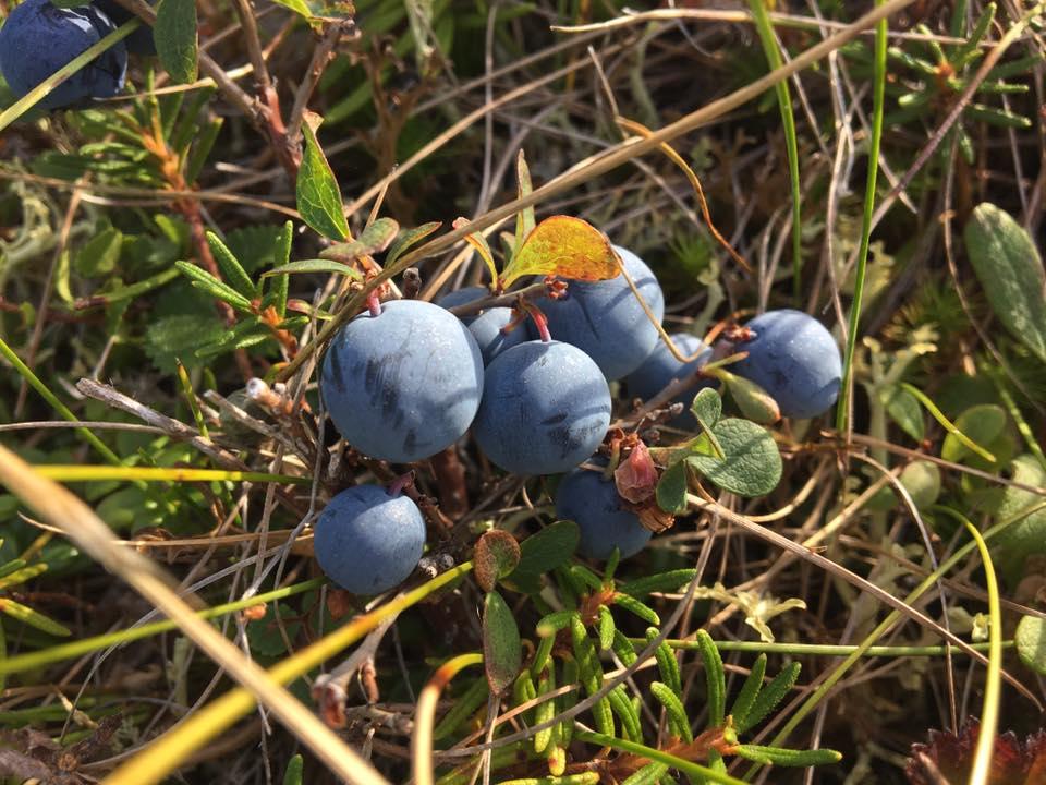 Solomon Blueberries