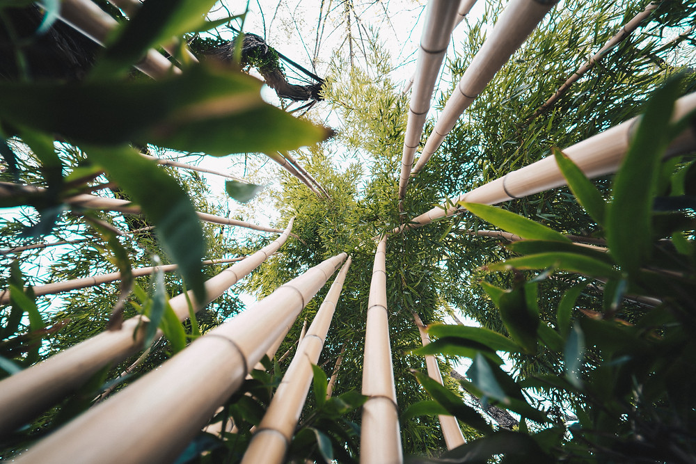 Bamboo Trees - Growth Poetry