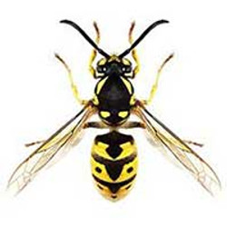 Wasps nest treatment and removal