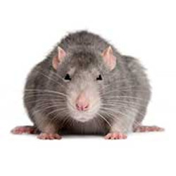 Rat treatment and prevention