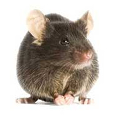 Mouse treatment and prevention