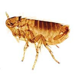 Flea and bed bug prevention