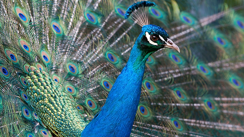 peacock.png