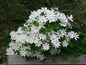 Clematis, White