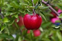Apple, Red Cortland