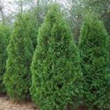 Arborvitae, Dark Green
