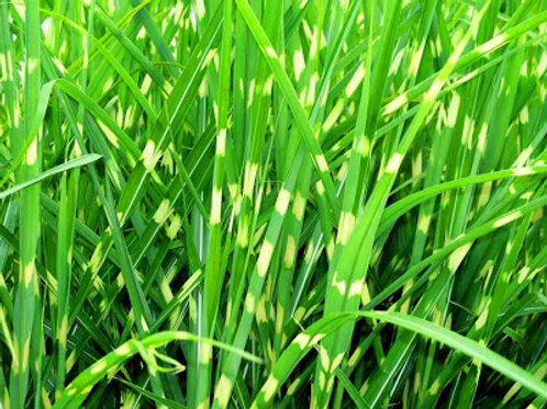Grass, Zebra