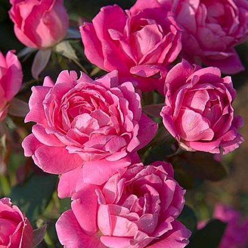 Rose, Double Pink Knock Out