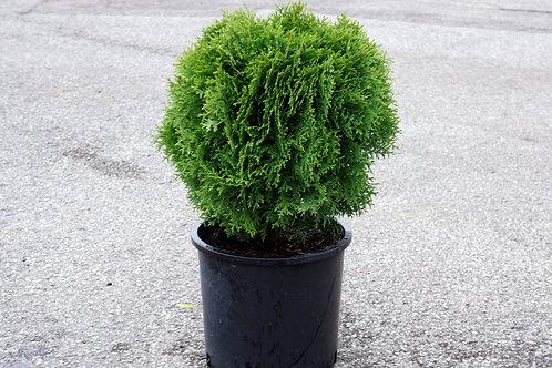Arborvitae, Hetz Midget