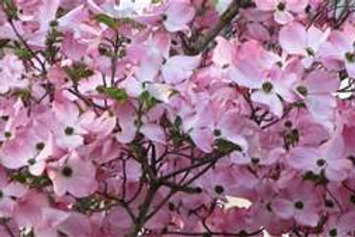 Dogwood, Pink