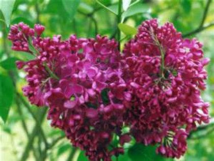 Lilac, Monge