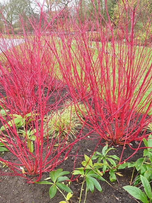 Dogwood, Bailey Red Twig